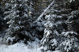 heavy-snow-on-evergreen-trees