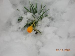 snowy-daffodil